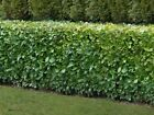 5 sizes of Native Cherry Laurel Grade A evergreen multi-stemmed hedge plants