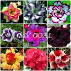 30Pcs Desert Rose Seeds Adenium Obesum Flower Bonsai Tree Plant Decor Garden
