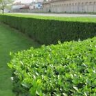 5ft (1.5m) tall now Green Privet evergreen hedge plants bare root hedging plant