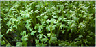 Curly Garden Cress seeds (200 - 12,800) peppergrass wort Halim Aliv CHANDRASHOOR