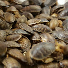 All Sizes - Dubia (Dubai) Roaches For Sale - Free &amp; Fast Shipping <br/> Live Arrival Guarantee - Satisfaction Guarantee