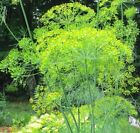 Dill Bouquet, Anethum Graveolens, Heirloom NON-GMO, Variety Sizes, FREE SHIPPING