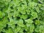 Greek Oregano, Winter marjoram, Herb, NON-GMO, Variety Sizes, FREE SHIPPING