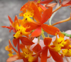 epidendrum-radicans-CRUCIFIX-ORCHID-Easy-to-Grow-rainbow-WOW-free-shipping