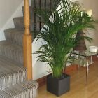 Large Areca Indoor Palm Tree 3.5-4ft Includes Decorative Planter Choice