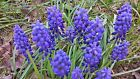 25 GRAPE HYACINTH Muscari Fragrant BUY 2 GET 1 FREE Ground Cover Flower Seeds