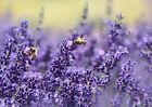 Lavender Seeds, Vera English, NON-GMO, Variety Sizes, FREE SHIPPING