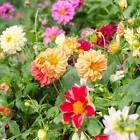 FIGARO SERIES DAHLIA FLOWER SEED MIX - 500 SEEDS - ANNUAL GARDEN SEED BLEND