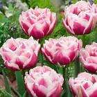 Double Light and Pink Tulip Bulbs Home Plant Garden Flowers Decor Bonsai