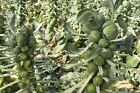 Brussel Sprouts, Long Island Improved, NON-GMO, Variety Sizes, FREE SHIPPING