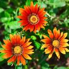 NEW DAY GAZANIA FLOWER GARDEN SEEDS- BRONZE SHADES - 100 SEEDS- ANNUAL GARDENING
