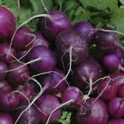 Purple Plum Radish Seeds, NON-GMO, Cruciferous, Variety Sizes, FREE SHIPPING