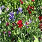 SWEET PEA FLOWER GARDEN SEEDS - ROYAL FAMILY MIX - ANNUAL FLOWER GARDENING