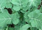 Kale Seeds Premier, NON-GMO, Cruciferous, Early Hanover, Variety Sizes Sold