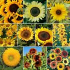 Sunny Sun Power Sunflower Mix, 10 Species, Variety Sizes, FREE SHIPPING