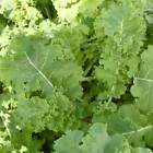 Dwarf Siberian Kale Seeds, NON-GMO, Cruciferous Vegetable, Winter Hardy