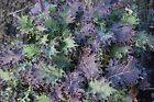 Red Russian Kale Seeds, NON-GMO, Antioxidants, Ragged Jack, FREE SHIPPING