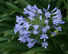 100Pcs African Lily of the Nile Agapanthus Flowers Seeds Rare Beautiful Plants