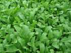 Heb Arugula Roquette leafy green Vegetable Seeds Heirloom select QTY