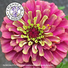 Rare Zinnia Queen Red Lime half hardy annual flower 5 seeds UK SELLER