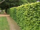 1-2ft tall Green Copper Beech hedge hedging plants semi-evergreen bare root