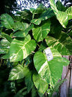 1 Cutting Giant Pothos philodendron tropical easy grow hedge or house PLANTS cheap