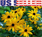 1000+ Black-Eyed Susan Rudbeckia Hirta Seeds Yellow Flower Gloriosa Daisy