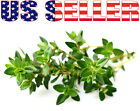 200+ ORGANICALLY GROWN French Thyme Seeds Herb Heirloom NON-GMO Fragrant From US