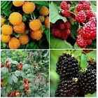 New Red Black Yellow Raspberries Seeds Bush Fruit Berry Rubus Garden 20pcs