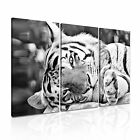 ANIMAL Tiger 20 Canvas 3A Framed Printed Wall Size ~ 3 Panels