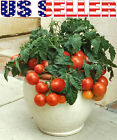 30+ ORGANICALLY GROWN Dwarf Tiny Tim Tomato Seeds Heirloom NON-GMO Sweet Mini US