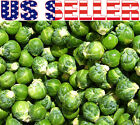 100+ ORGANICALLY GROWN Catskill Brussel Sprouts Seeds Heirloom NON-GMO From USA