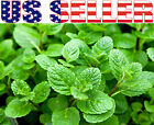 100+ ORGANICALLY GROWN Egyptian Mint Seeds Heirloom NON-GMO Fragrant Rare!!! USA