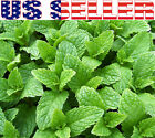 100+ ORGANICALLY GROWN Kentucky Colonel Mint Seeds Heirloom NON-GMO Fragrant USA
