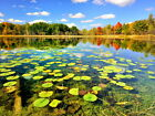 D2924 Colorful Lake Spatterdocks Nature Gigantic Print POSTER