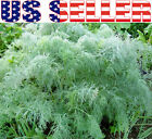 100+ ORGANICALLY GROWN Dwarf Balcony Hera Dill Seeds Heirloom NON-GMO Container