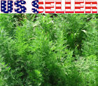 100+ ORGANICALLY GROWN Dwarf Dill Ella Seeds Heirloom NON-GMO Compact Container
