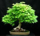 HOT SALE ! Kinds Japanese Maple Bonsai Tree Seeds Garden Plants for home-20 Pcs