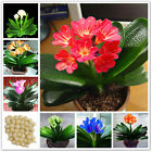 10 Pcs Gorgeous Clivia Seeds, Kaffir Lily Seeds, Flowers Seeds, Mix Color
