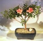 Azalea Bonsai Duc De Rohan Tropical Flowering Indoor southern indica 6 yr 12