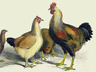 Roosters & Hens Decorative Poster. Fine Graphic Art. Wall...
