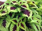 KONG SERIES COLEUS 20 SEEDS TAKE YOUR CHOICE OF COLORS OR THE BEAUTIFUL NEW MIX
