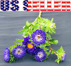 50+ Blue and White Pompon Aster Flower Seeds Colorful Vivid Beautiful Easy Grow