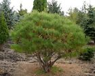 Pinus densiflora Japanese Red Pine seed  grown in 7cm pot ideal bonsai subject