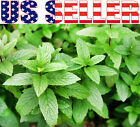 100+ ORGANICALLY GROWN Macho Mint Seeds Heirloom NON-GMO Fragrant Rare! From USA