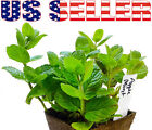100+ ORGANICALLY GROWN Apple Mint Woolly Mint Seeds Heirloom NON-GMO Fragrant US