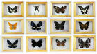 Framed Taxidermy Butterfly in Wooden Frame Great OOAK Christmas Gift - UK Seller