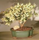 "Bonsai Flowering Andromeda Outdoor - pieris japonica variegata 9 yr 11""-13"" tall"