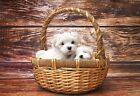 Maltese Puppies In A Basket - Animal Poster - Dog Photo - Dog Print - Wall Art