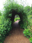 2.0m Tall Living Willow Archway / Tunnel Kit  Willow Rods, Cuttings, Whips